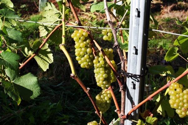 Römerweinhof Familie Pöltl | Weingärten und Weinlese